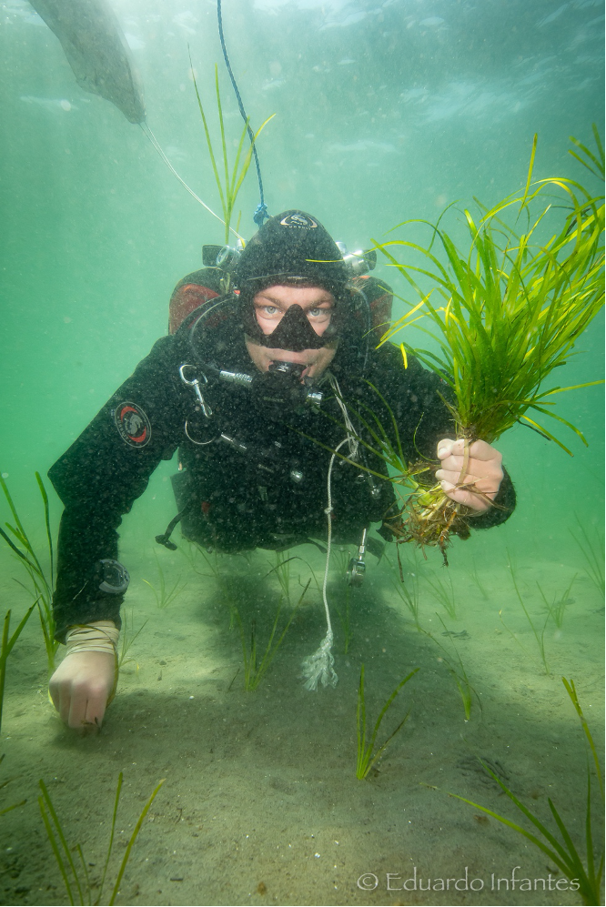 Dykare planterar ålgräs