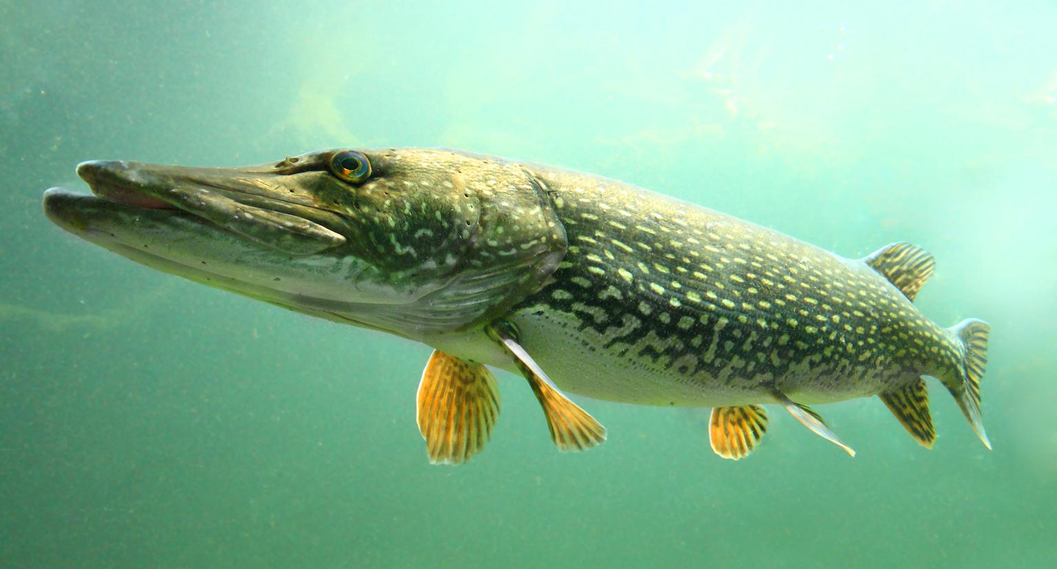 Undervattensbild av gädda