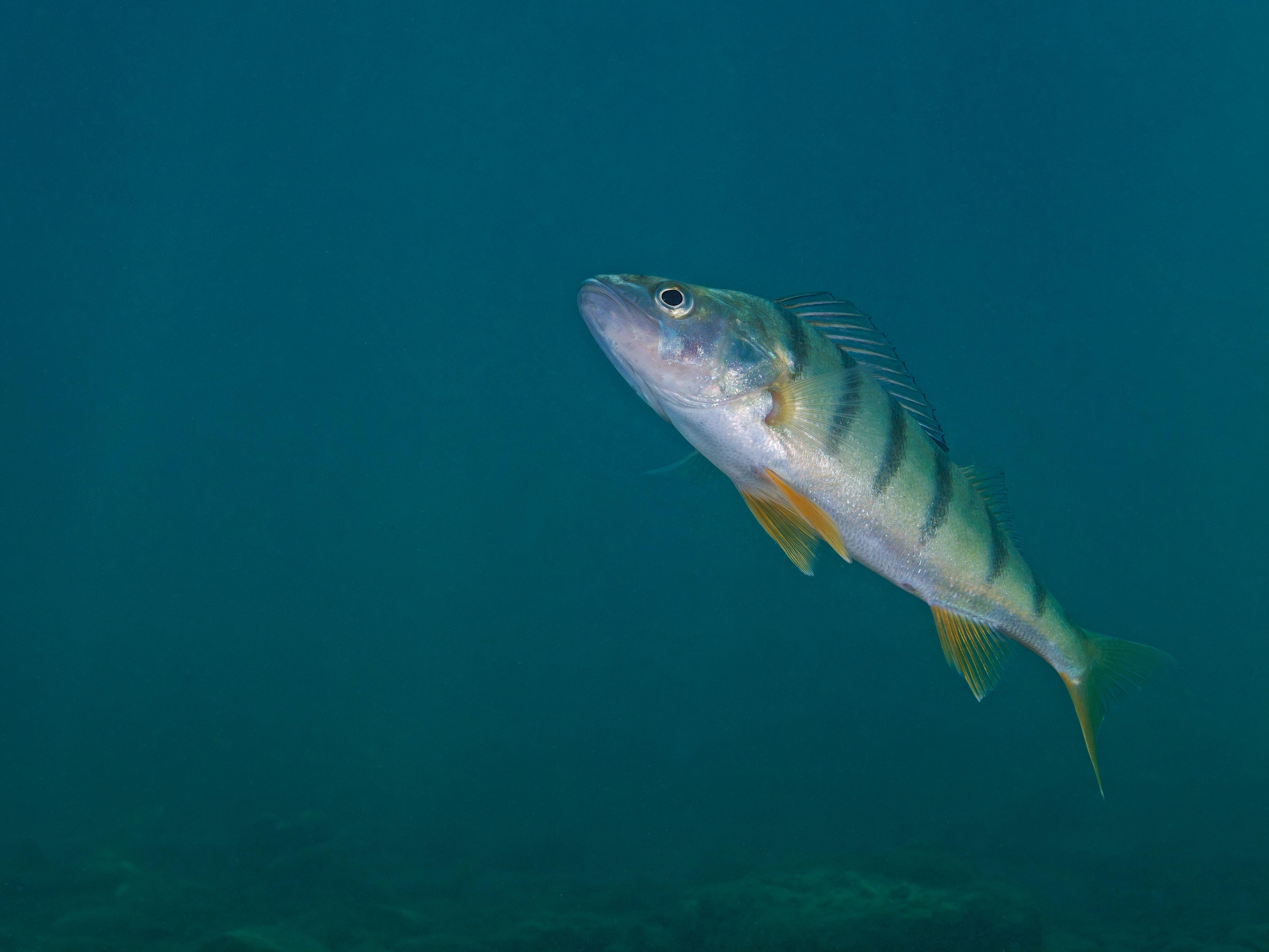 Bild av abborre under vatten.