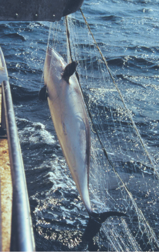 Bifångad tumlare i nät