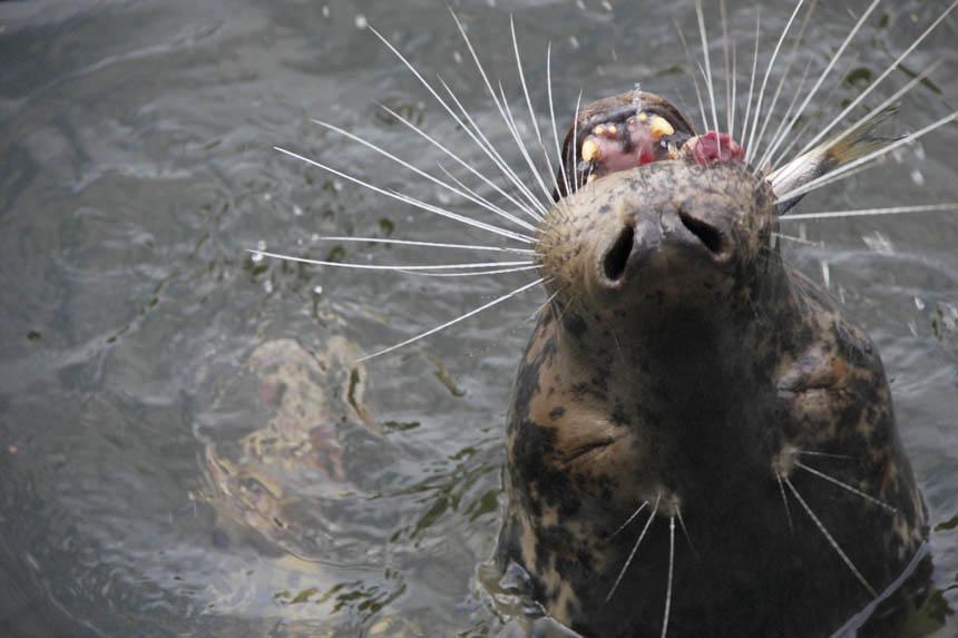 En säl med fisk i munnen som tittar sticker upp huvudet ur vattnet.