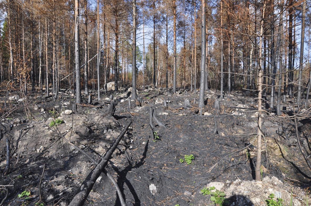 Brandhärjad skogsmark