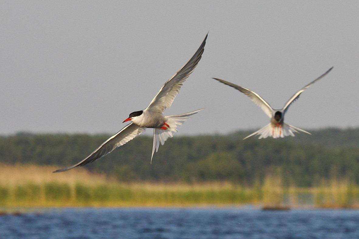 Flygande fisktärnor över Vänern