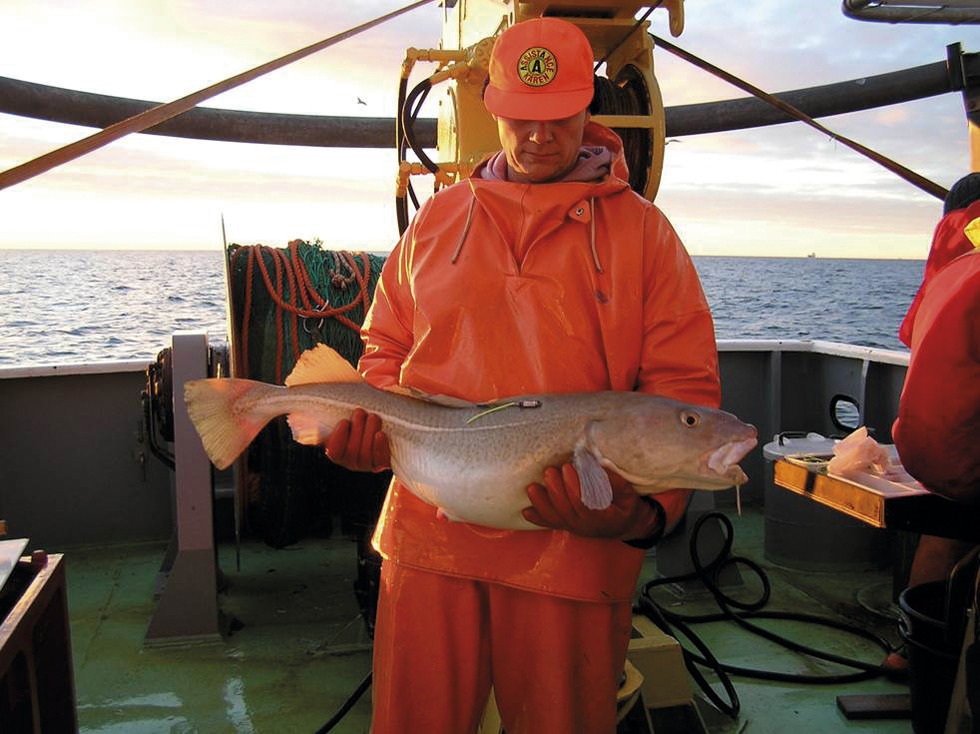 Märkning av torsk på fartyg