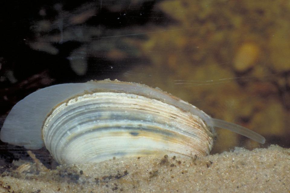 Östersjömussla på botten