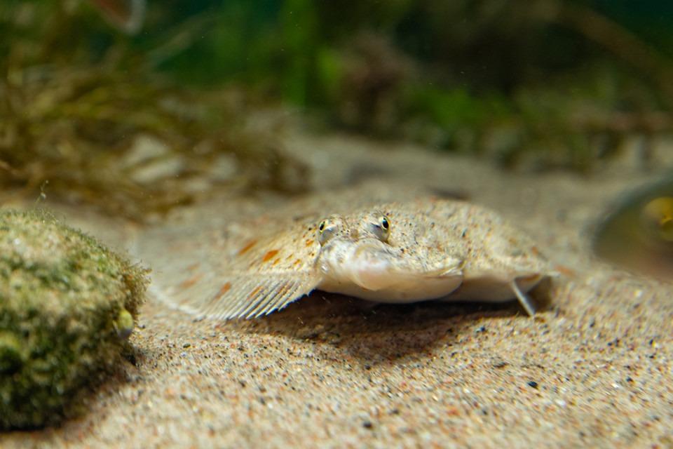 Rödspätta i akvarium på Baltic Sea Science Center. Foto.