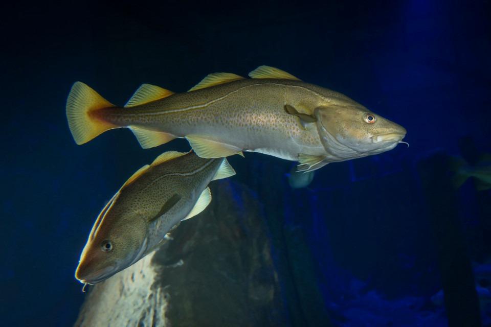Torsk i rovfiskakvariet på Baltic Sea Science Center. Foto.