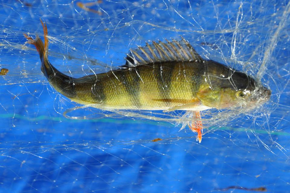 abborre fast i fiskenät