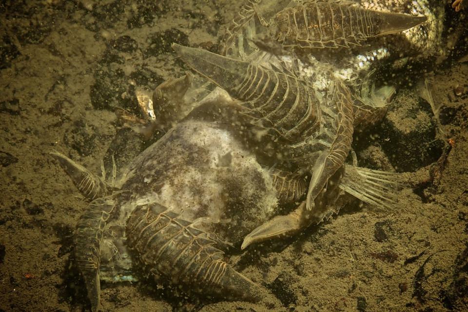 Sarduria entomon äter på död fisk.