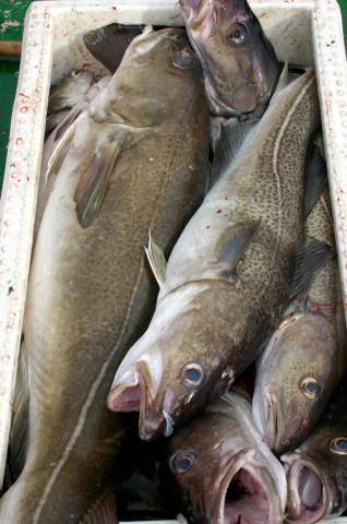 Torskbeståndet i Kattegatt har minskat till en tjugondel jämfört med på 1970-talet och är kanske ett av världens mest hotade torskbestånd.