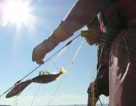 Kunskap om vad som styr utvecklingen av Östersjöns kustfisksamhällen kan användas för att förbättra förvaltningen av våra havsområden.