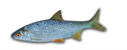Under den varma delen av året domineras kustfisksamhällena i Östersjön av sötvattensarter. Mört är en art som gynnas av högre vattentemperaturer.