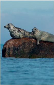 Antalet gråsälar i Östersjön fortsätter växa med cirka 8 procent per år, men under 2000-talet har ett ett minskande späcklager observerats hos gråsälarna och förekomst av hudskador och leverparasiter har ökat. Foto: Otto Maasikas/Shutterstock