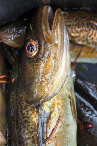 Halterna av kvicksilver och HBCDD ökar i torsklever från norra Egentliga Östersjön.