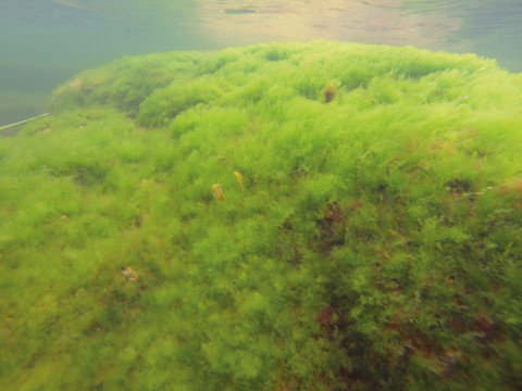 Grönalgerna tarmtång, grönslick och blåstång