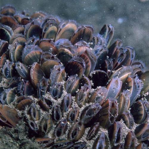 Bild av bädd av blåmusslor på havsbotten