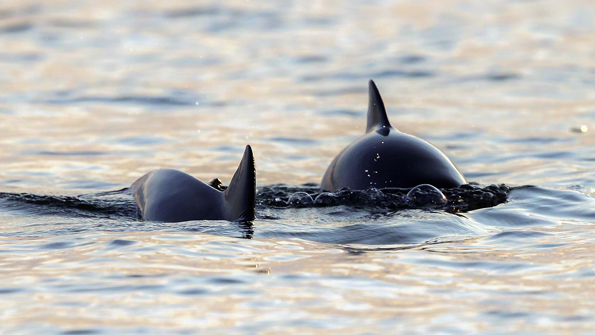 Två tumlare