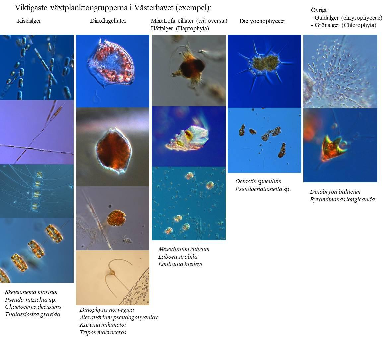 Exempel på de vanligaste arterna av växtplankton på västkusten