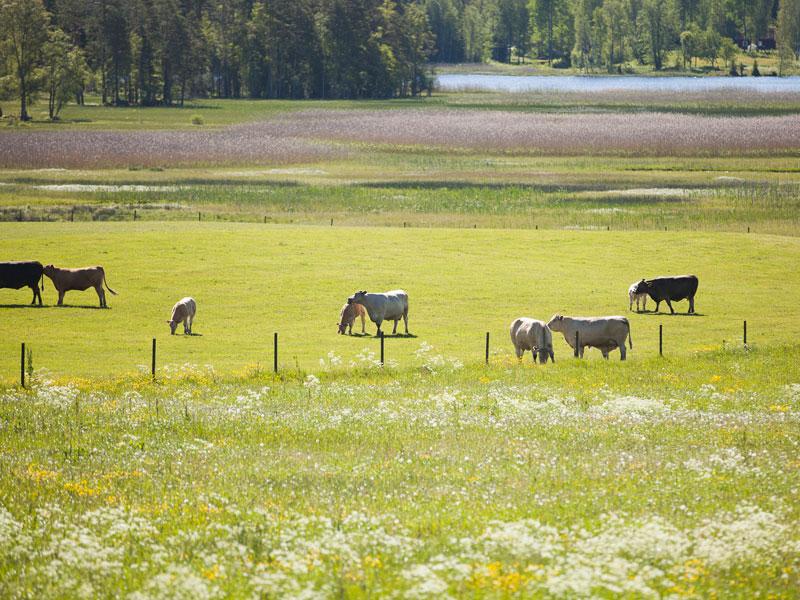 Betande kor i anslutning till vattendrag. Foto.